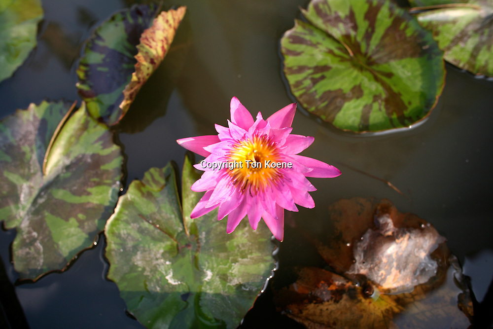 waterlily in Tahiland