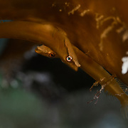 This is a pair of Pair of Aspasma minima clingfish hiding underneath part of a large growth of Ecklonia cava brown algae. This species is found in the northwest Pacific.