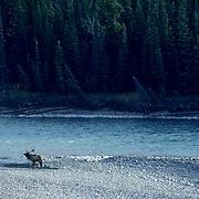 Elk, (Cervus elaphus) bull near Athabasca River in Canadian Rockies.