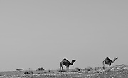 Camels in th desert in black and white