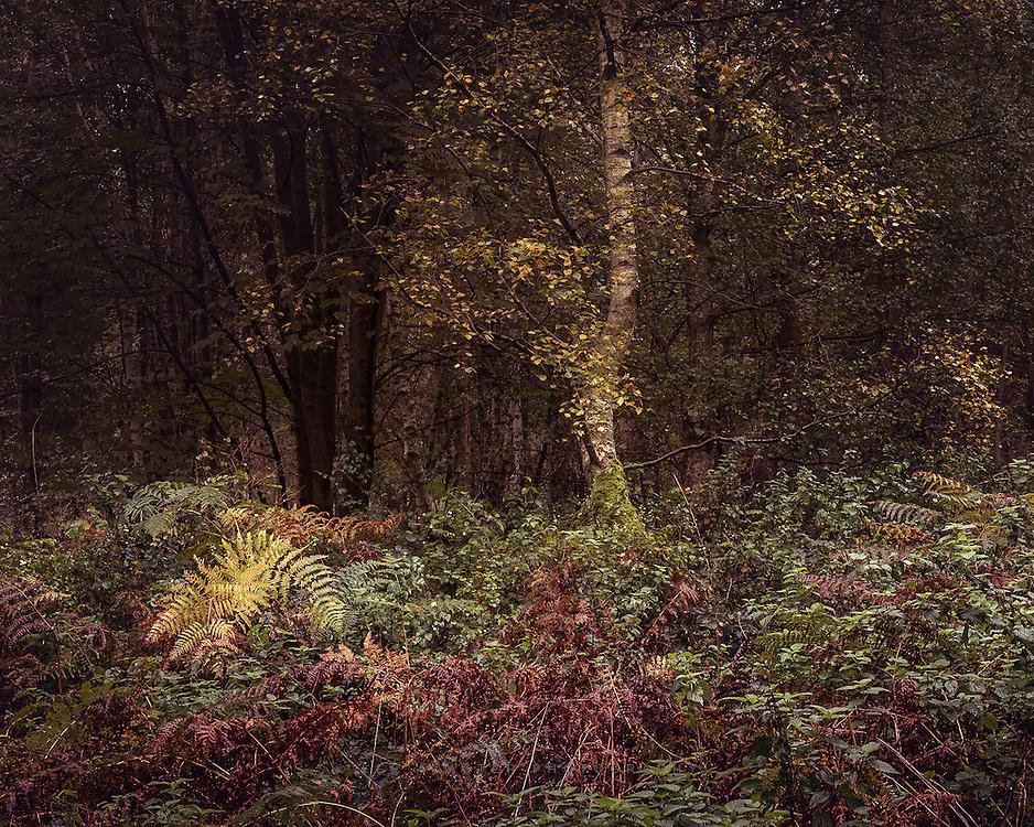Rainy dawn walk in Thetford Forest yesterday