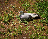 Rock Pigeon (Columba livia). Shinjuku Central Park, Tokyo, Japan. Image taken with a Leica CL camera and 11-23 mm lens.