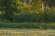 A red fox (Vulpes vulpes) with its prey hanging from jaws in recenlty mowed meadow in sunrise, Vidzeme, Latvia Ⓒ Davis Ulands | davisulands.com