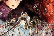 Spiny Lobster, Palinuridae argus, Latreille, 1804, Grand Cayman
