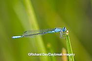 06101-001.09 Azure Bluet (Enallagma aspersum) male in wetland, Marion Co.  IL