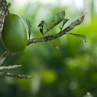 Fruit hangs off a tree in Peru's Amazon Jungle.