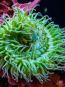 Giant Green Anemone (Anthopleura xanthogrammica). Oregon Coast Aquarium, Newport, Oregon, USA.