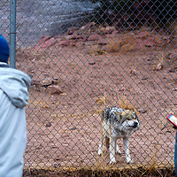 A wolf grimaces at a crowd of spectators during the Winter Stories tour at the Navajo Nation Zoo in Window Rock Wednesday.