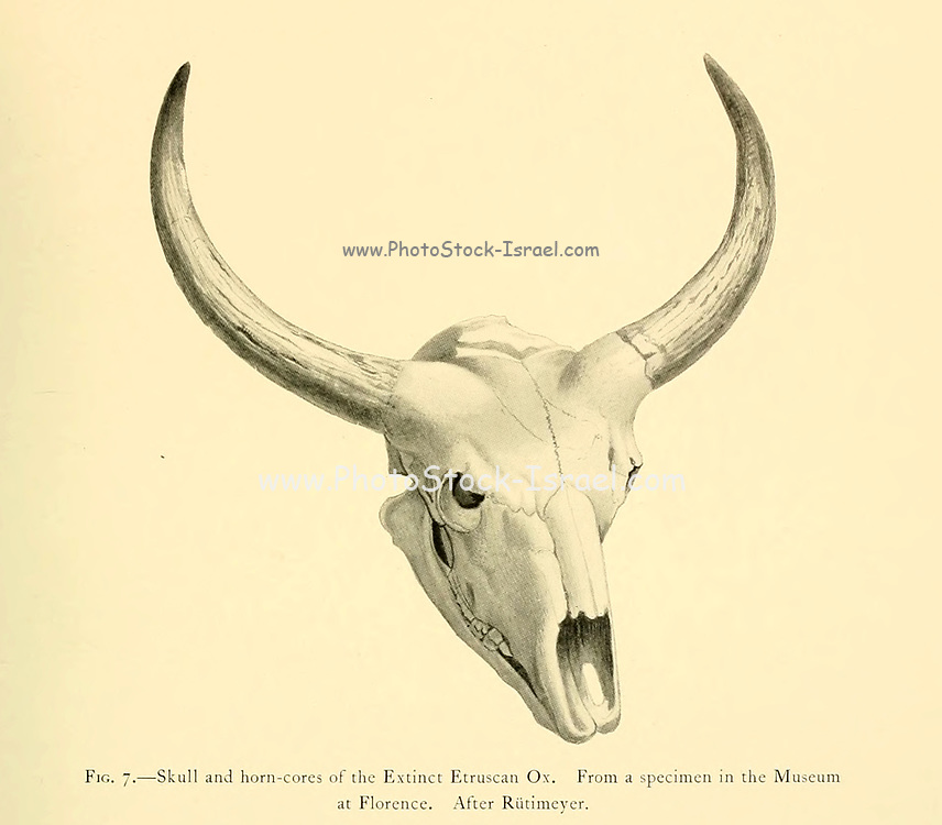 Skull and horn-cores of the Extinct Etruscan ox (Bos elatus). From a specimen in the Museum at Florence. After Rtitimeyer illustration From the book ' Wild oxen, sheep & goats of all lands, living and extinct ' by Richard Lydekker (1849-1915) Published in 1898 by Rowland Ward, London