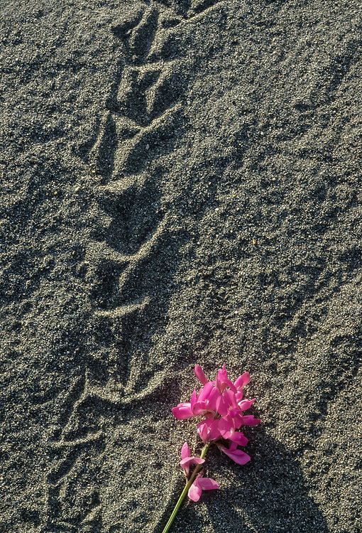 Vetch wildflower, July, Kongakut River Valley, Arctic National Wildlife Refuge, Alaska, USA