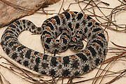 Pigmy Rattlesnake (Sistrurus miliarius)<br /> CAPTIVE<br /> Northern Georgia<br /> USA<br /> Endemic to USA<br /> HABITAT & RANGE: Coastal plains, sandhills, pine forests to wet or seasonally flooded forests.