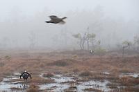 09.04.2009.Black Grouse (Tetrao tetrix) displaying on a bog. Female flying above. Lekking behaviour. Courting. Foggy morning..Bergslagen, Sweden.