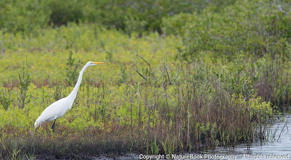 A White Egret stands motionless as it scans the water's edge for fish at the Merritt Island National Wildlife Refuge adjacent to the Kennedy Space Center in Florida.