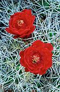 Red cactus flower (echinocereus) blooms in Joshua Tree National Park, California.