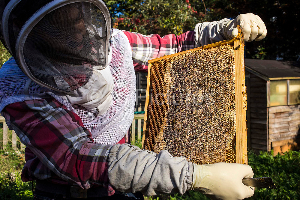 Inspecting the honey frames inside a bee hive for disease. Urban bee keeping, community garden project, George Downing Estate, Hackney, East London.