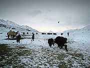 Every evening, Kyrgyz men and women must gather yaks, sometimes by chasing them and scaring them by throwing dry dung at them..Campment of Tshar Tash (Haji Osman's camp), in the Wakhjir valley, at the source of the Oxus..Winter expedition through the Wakhan Corridor and into the Afghan Pamir mountains, to document the life of the Afghan Kyrgyz tribe. January/February 2008. Afghanistan