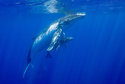 Mother and calf Humpback Whales, Megaptera novaeangliae, surface to breathe. Moorea, French Polynesia, Pacific Ocean
