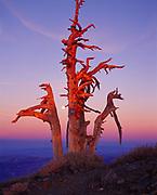 Full moon rising beyond skeleton bristlecone pine at sunset, Telescope Peak, Panamint Range, Death Valley National Park, California.