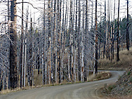 Trees burned in a forest fire stand bare along a forest service road in the Umatilla National Forest, Blue Mountains, WA, USA