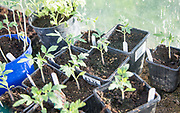 Tomato plant seedlings growing in pots inside greenhouse,  Cherhill, Wiltshire, England, UK