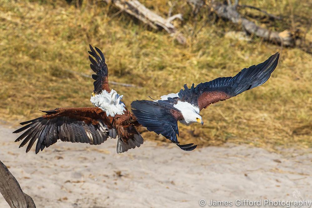 African Fish Eagle, Savute, Botswana