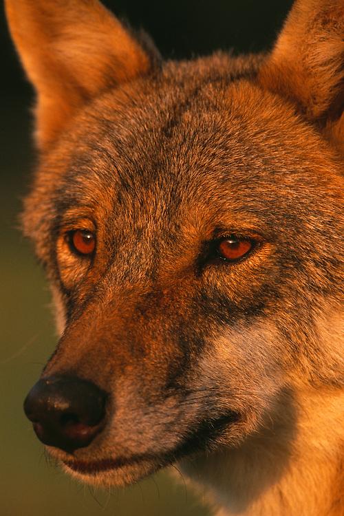 European wolf (Canis lupus), Transsylvania, Romania. Captive