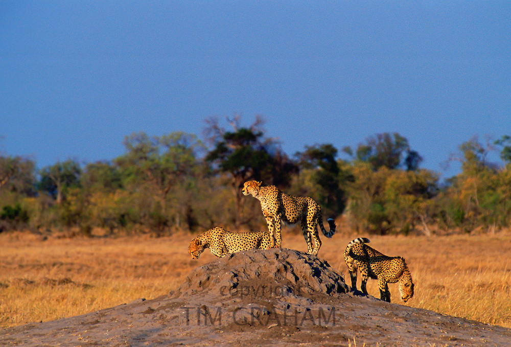 A packof three cheetahs using an old termite mound to watch for approaching prey in Moremi National Park, Botswana