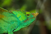 Globe-horned Chameleon (Calumma globifer) Photographed in Madagascar in October