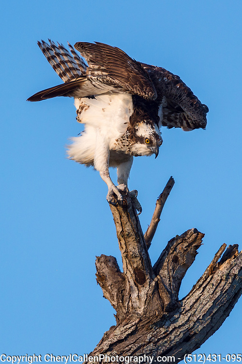 Osprey preparing for flight