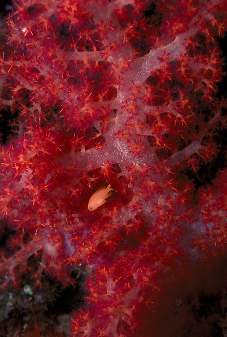 Soft coral, Dendronephthya sp., with Anthias sp. fish