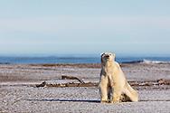 Polar bear (Ursus maritimus) on spit on Barter Island near Kaktovik in Arctic National Wildlife Refuge in the Far North of Alaska. Autumn. Morning.
