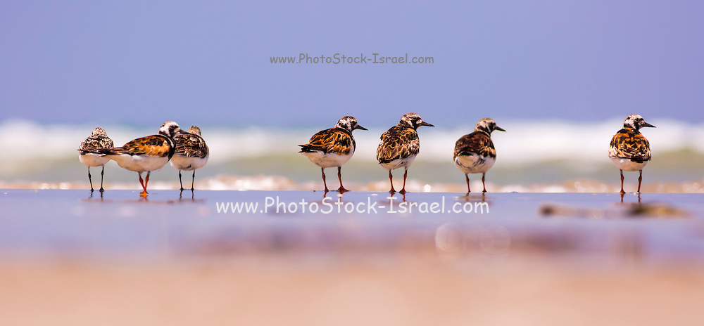 a group of Ruddy Turnstone (Arenaria interpres) scavenging for food on a beach. Photographed in Israel in August
