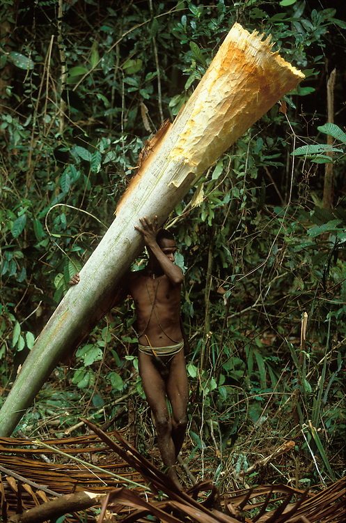 A man carries the woddy shaft of sago leaf in Papua, Indonesia. September 2000. The shaft will be used for the washing of sago fibres. The Kombai are a so-called treehouse people who build their homes high up in the trees, and sago is one of their staple foods.