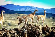 Llamas near Machu Pichu, Peru