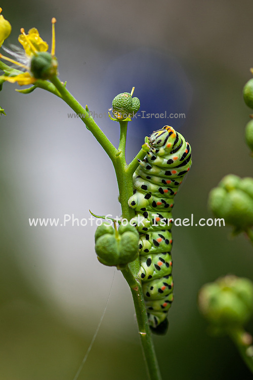 Caterpillar of an Old World Swallowtail (Papilio machaon) AKA Common yellow swallowtail Butterfly on a flower Photographed in Israel, Summer June. This species, is native to Europe and Asia.