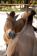 Prezwalski Horses at the Royal Andalusian School of Equestrian Art (Real Escuela de Equetsre) Andalucia, Jerez, Spain