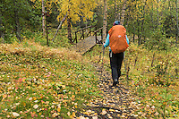Female hiker hiking through autumn birch forest towards Aigert hut, Kungsleden trail, Lapland, Sweden