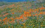 California poppies bloom in the Antelope Valley Poppy Reserve during the super bloom 2019. A wet winter brought an explosion of wildflowers in the spring.