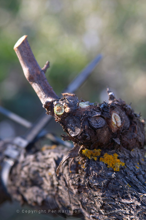Domaine de l'Aigle. Limoux. Languedoc. Vines trained in Cordon royat pruning. France. Europe.