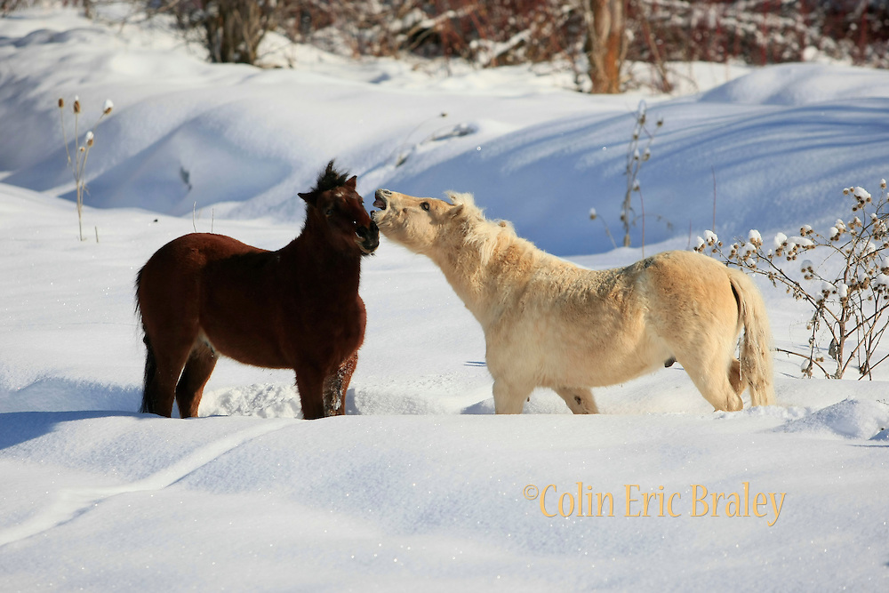 Two ponies play in a fresh blanket of snow after a winter storm along the Wasatch mountain range in northern Utah. Colin Braley