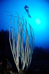 Ctenocella cercidia, Ellisella ceratophyta, Ellisella cercidia, Weisse Besengorgonie und Taucher, white whip corals and scuba diver, Bali, Indonesien, Indopazifik, Bali, Indonesia Asien, Indo-Pacific Ocean, Asia luftbild