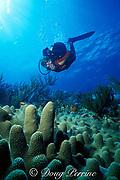 scuba diver and pillar coral, Dendrogyra cylindrus, St. Barts, ( Eastern Caribbean Sea )   MR 95
