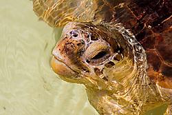 loggerhead turtle, Caretta caretta, breathing, endangered species, Juno Beach, Florida, Atlantic Ocean (c)