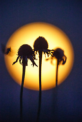 Black Samson or narrow-leaf coneflowers (Echinacea angustifolia DC.) against full moon in twilight of dusk, in Blackland Prairie at Clymer Meadow Preserve, Texas Nature Conservancy, Greenville, Texas, USA.