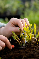 Taking cuttings from Dahlia 'Thomas Eddison' - cutting at base