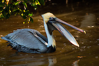 A brown pelican on Sanibel Island is caught with its mouth open just before lunging headfirst into the water where it was scooping out the trapped baitfish.