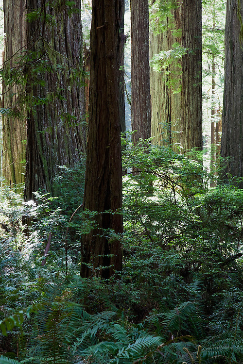 Redwood National Park in CA, USA