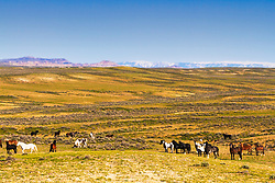 Mustangs on the prairie, McCullough Peaks Wild Horse Herd Management Area, Cody Wyoming