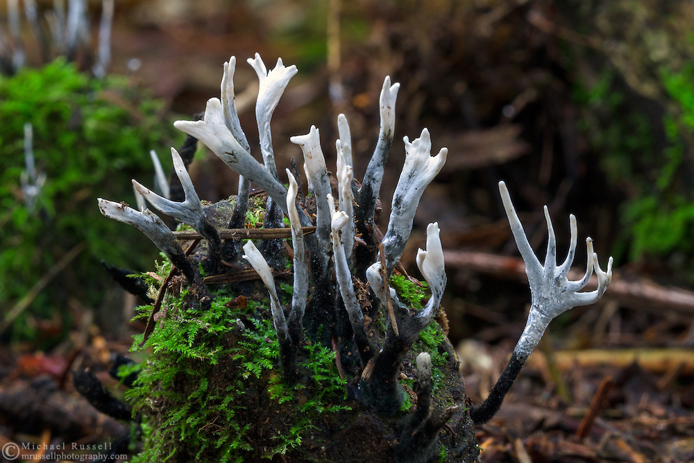 Carbon Antlers (Xylaria hypoxylon) aka Candlesnuff Fungi on the forest floor of Campbell Valley Park in Langley, British Columbia, Canada