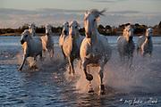Camargue Horse, Black and white horse, Camargue horse, Camargue horse fine art print, Camargue horses on beach, fine art horse print, horse print, White horse, horse photos